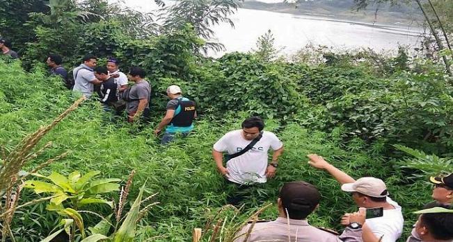 Ladang Ganja di Lahan Seluas 1,5 Hektare Ditemukan Polisi di Pesisir Waduk Jatiluhur Purwakarta.