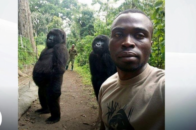 Ndakazi dan Ndeze, dua gorila yang berpose saat selfie.