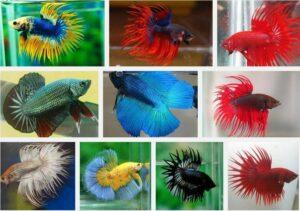 10 Jenis Ikan Cupang Hias Termahal